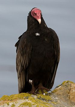Urubu a tete rouge - Turkey Vulture.jpg